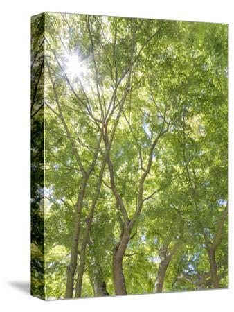 USA, Washington State, Seattle. Sun Shining Through Maple Trees