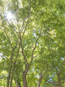 USA, Washington State, Seattle. Sun Shining Through Maple Trees by Don Paulson
