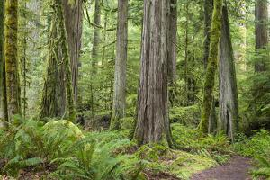 Washington, Olympic NP. Old Growth Forest on Barnes Creek Trail by Don Paulson