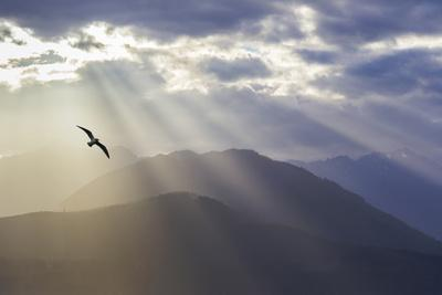 Washington, Seabeck. Seagull and God Rays over the Olympic Mountains