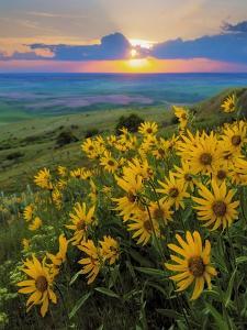 Washington State, Palouse Hills. Landscape with Douglas' Sunflowers by Don Paulson