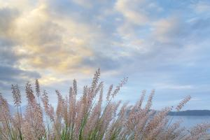 Washington State, Seabeck. Scenic of Pennisetum Ornamental Grasses by Don Paulson