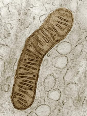 Cross-Section of a Typical Mitochondrion, Showing the Internal Cristae, TEM by Donald Fawcett