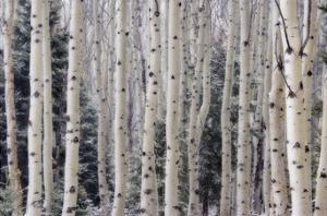 Aspen Forest by Donald Paulson