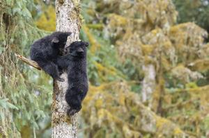 Black Bear Cubs In Tree by Donald Paulson