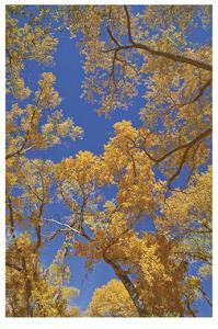 Cottonwoods in Fall by Donald Paulson