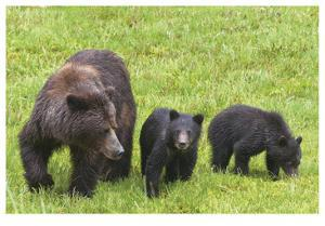 Grizzly With Cubs by Donald Paulson