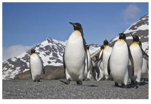 King Penguins, South Georgia by Donald Paulson
