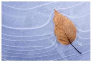 Leaf Frozen in Ice by Donald Paulson
