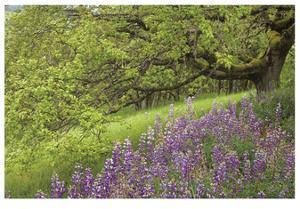 Lupine and Oak by Donald Paulson