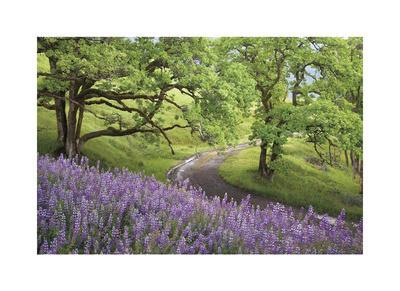 Lupine and Oaks