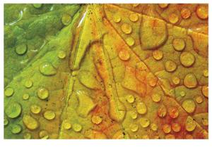 Maple and Dew III by Donald Paulson