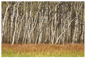 Nature Conservancy Aspen Grove II by Donald Paulson