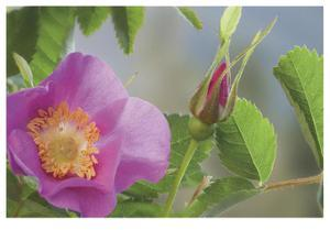 Nootka Rose by Donald Paulson