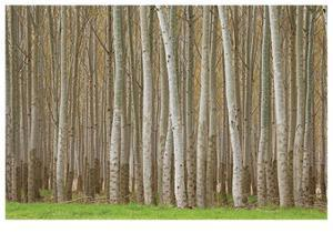 Poplar Trees by Donald Paulson