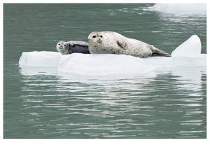 Seal With Pup On Iceberg by Donald Paulson
