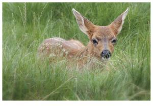 Spotted Fawn by Donald Paulson