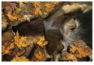 Stream and Maple by Donald Paulson