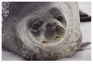 Weddell Seal by Donald Paulson
