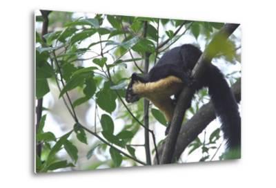 Black Giant Squirrel (Ratufa Bicolor) Gaoligong Mountain National Nature Reserve