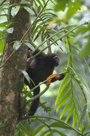 Hoolock Gibbon (Hoolock Leuconedys)Feeding by Dong Lei