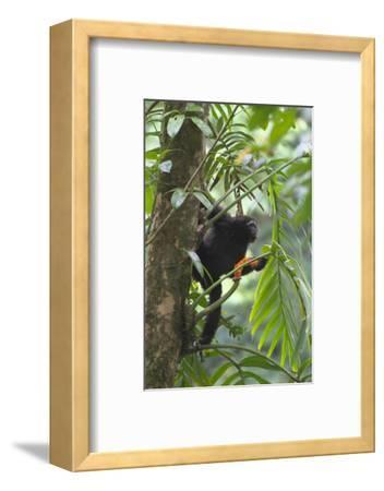 Hoolock Gibbon (Hoolock Leuconedys)Feeding