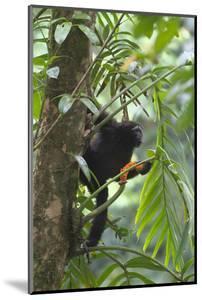 Hoolock Gibbon (Hoolock Leuconedys)Feeding by Dong Lei