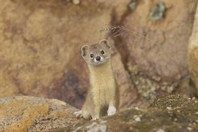 Mountain Weasel (Mustela Altaica) Lhasa City, Qinghai-Tibet Plateau, Tibet, China, Asia