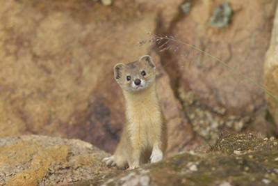 Mountain Weasel (Mustela Altaica) Lhasa City, Qinghai-Tibet Plateau, Tibet, China, Asia by Dong Lei