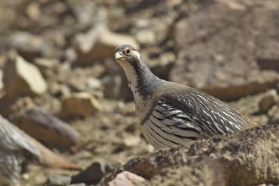 Tibetan Snowcock (Tetraogallus Tibetanus) Mount Qomolangma National Park