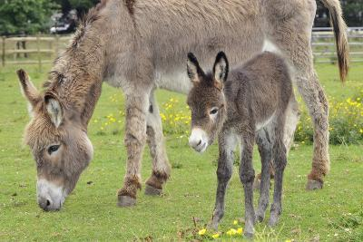 Donkey Adult and 5 Days Old Baby--Photographic Print
