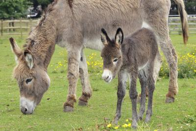 https://imgc.artprintimages.com/img/print/donkey-adult-and-5-days-old-baby_u-l-q1068iw0.jpg?p=0