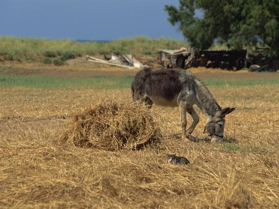 Donkey and Cat, Kastelli, Chania District, Crete, Greek Islands, Greece, Europe-O'callaghan Jane-Photographic Print