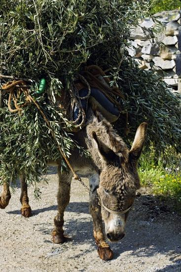 Donkey Carrying Olive Branches-Bob Gibbons-Photographic Print