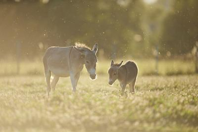 Donkey, Equus Asinus Asinus, Mother and Foal, Meadow, are Lying Laterally-David & Micha Sheldon-Photographic Print