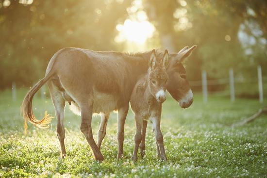 Donkey, Equus Asinus Asinus, Mother and Foal, Meadow, Is Lying Laterally-David & Micha Sheldon-Photographic Print