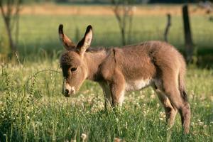 Donkey Foal in Meadow, Side On