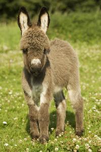 Donkey Foal in Meadow