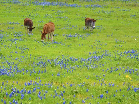 Donkey in field of bluebonnets near Llano Texas-Sylvia Gulin-Photographic Print