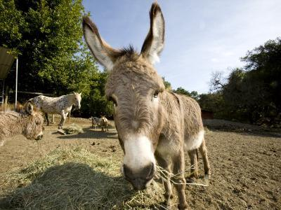 Donkey, Pony, Horse and Goats Eating Hay in an Outdoor Pen-Karine Aigner-Photographic Print