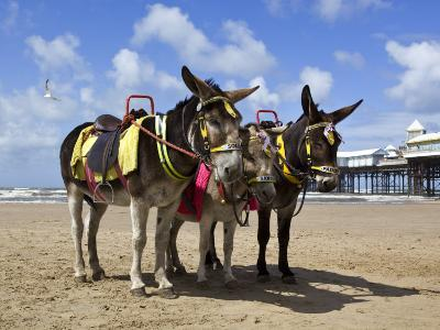 Donkey Rides on Blackpool Beach-Neil Setchfield-Photographic Print