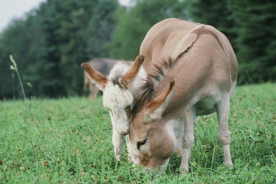 Donkey--Photographic Print