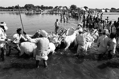 Donkeys and Men Crossing Sabarmati River, Vautha Fair, Gujarat, India, 1983--Photographic Print