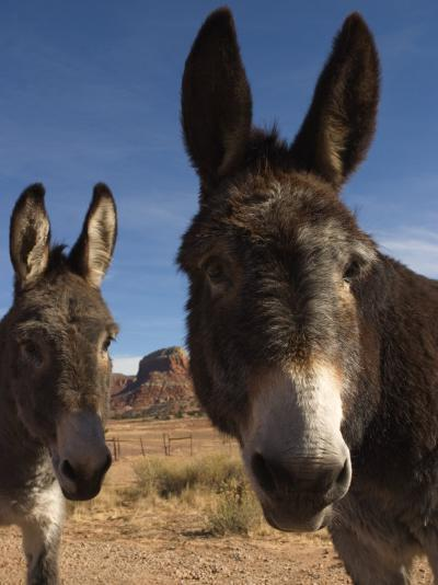 Donkeys Peer at the Camera in a Desert Scene-Ralph Lee Hopkins-Photographic Print