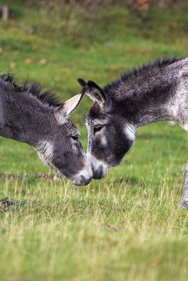 Donkeys Touching Noses-Duncan Shaw-Photographic Print