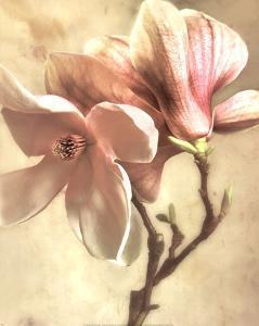 Pink Magnolia I by Donna Geissler