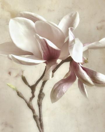 Pink Magnolia II