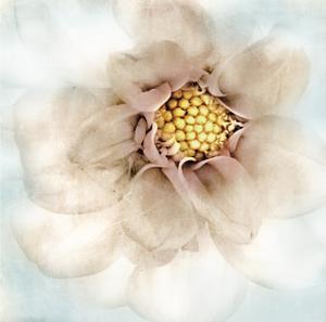 Soft Dahlia by Donna Geissler