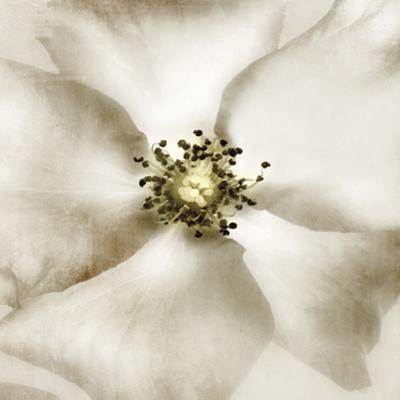Whisper of Rose
