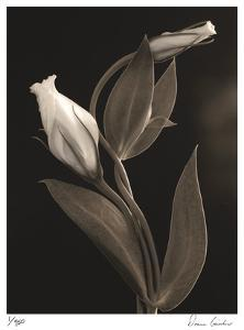 White Lisianthus IV by Donna Geissler